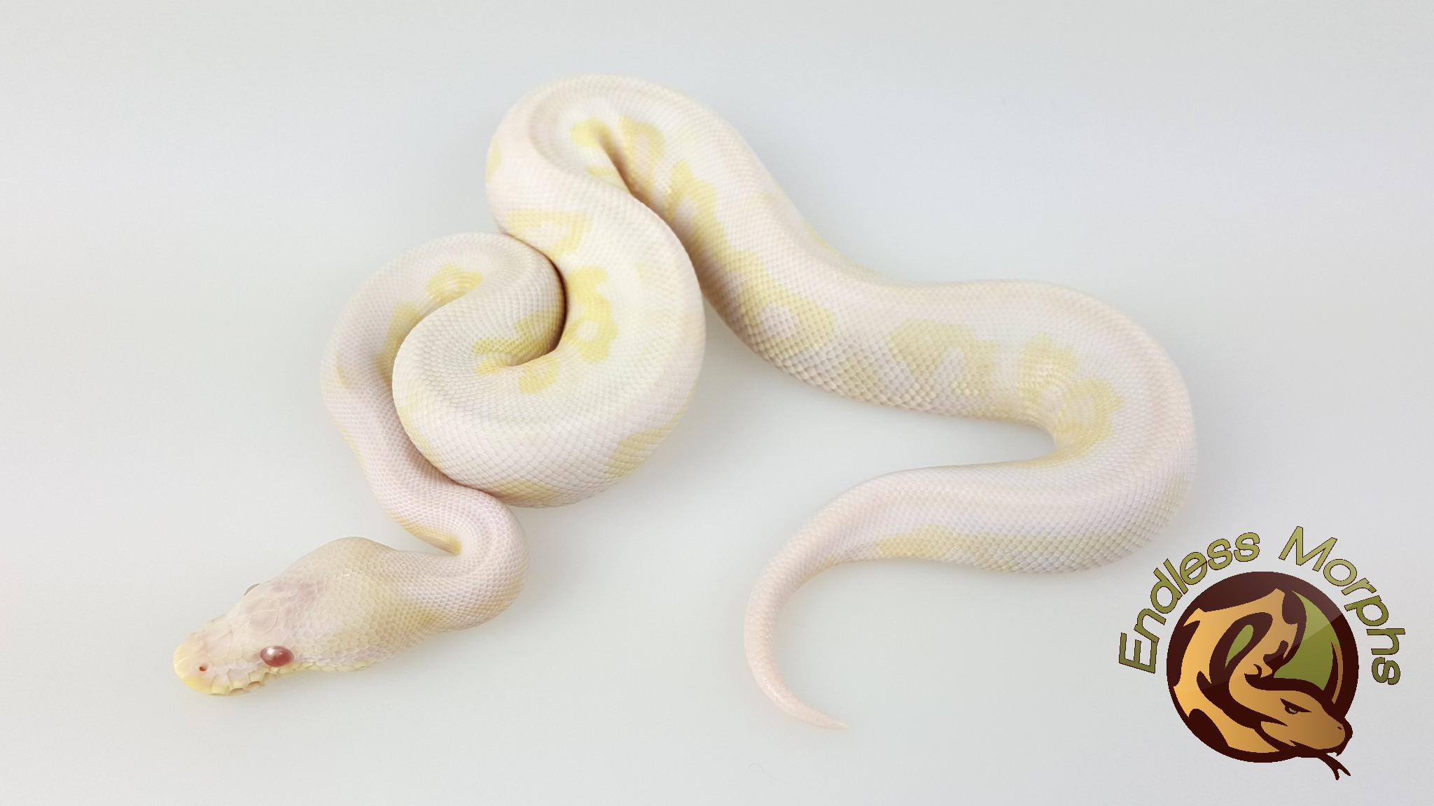 1.0 Albino Axanthic - VPI Line Cinnamon Königspython