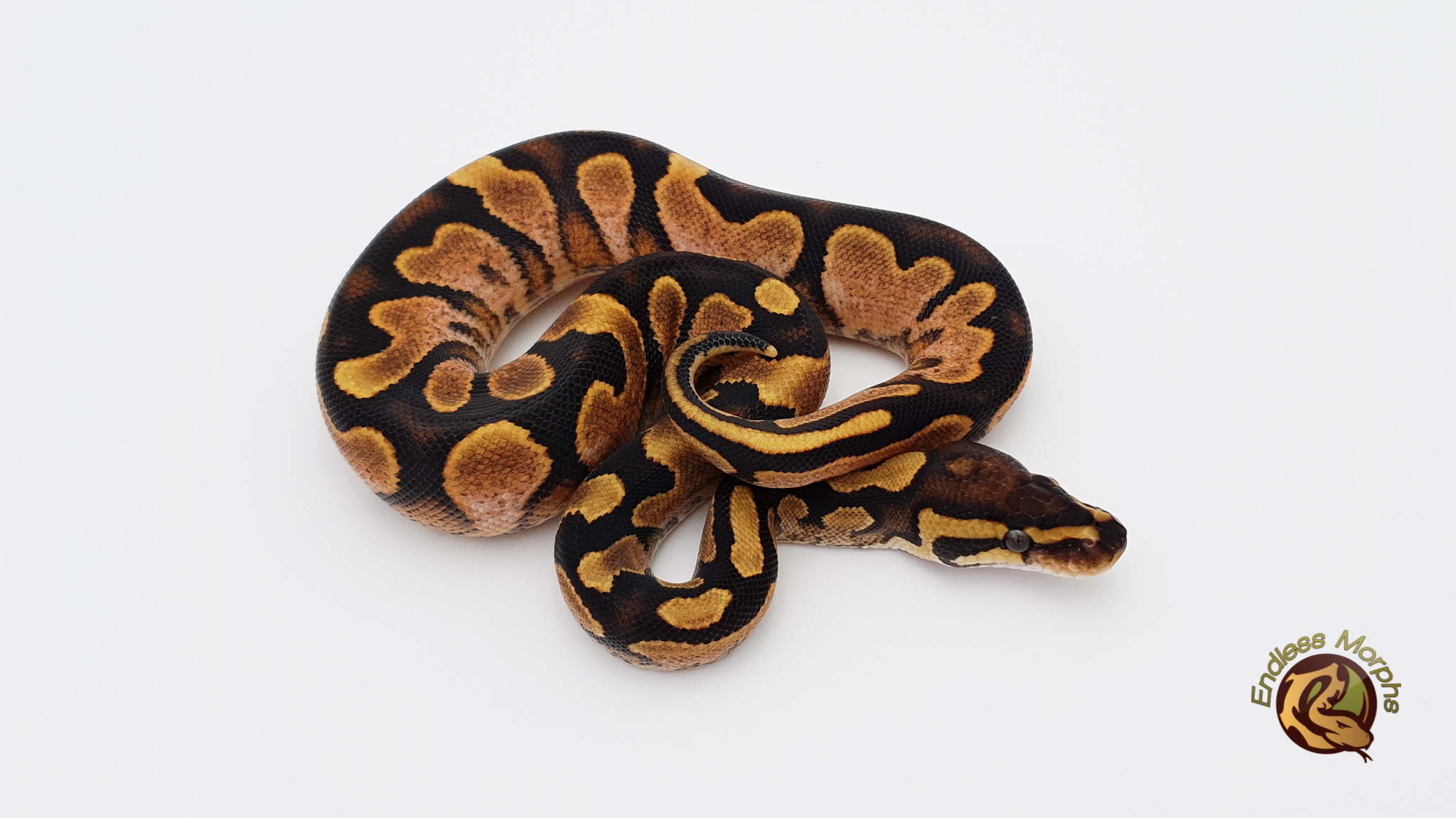 0.1 Calico Yellow Belly Königspython