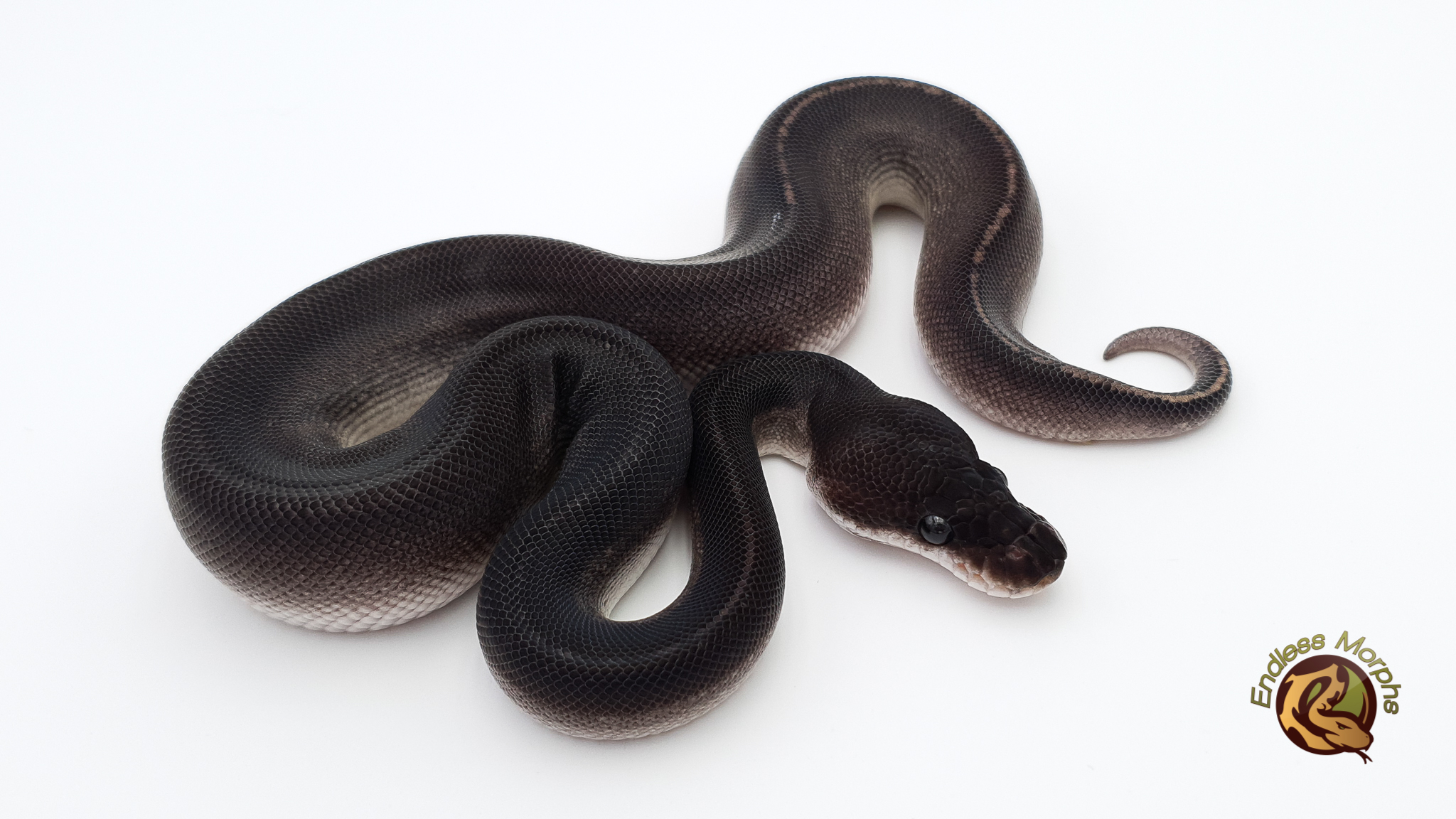 1.0 Black Head Phantom Super Cinnamon Königspython